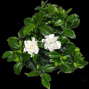 Gardenia-Γαρδένια (13cm)