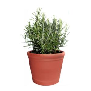 Salvia rosmarinus-Δεντρολίβανο (12cm)