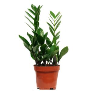 Zamioculcas zamiifolia-Ζάμια (12cm)