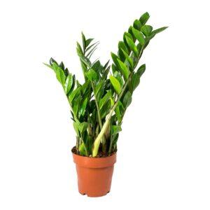 Zamioculcas zamiifolia-Ζάμια (14cm)