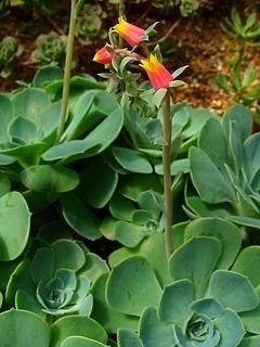 Echeveria neomexicana (5.5cm)