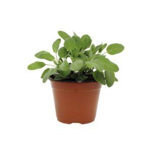 Salvia officinalis-Φασκόμηλο (12cm)