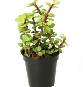 Portulacaria afra polis variegata (5.5cm)