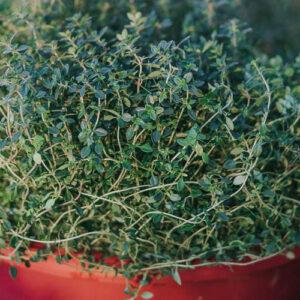 Thymus citriodorus-Λεμονοθύμαρο (12cm)