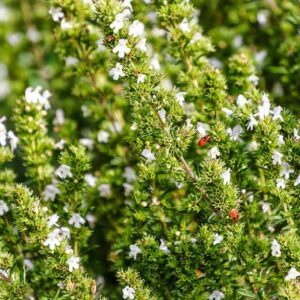 Satureja hortensis-θρούμπι (12cm)