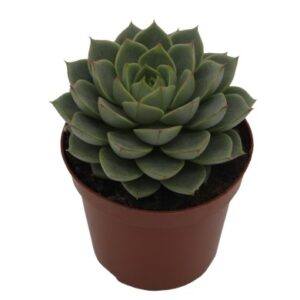 Echeveria fabiola (5.5cm)