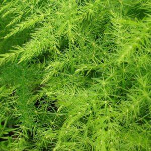 Asparagus aethiopicus-Αραχνάκι (9cm)