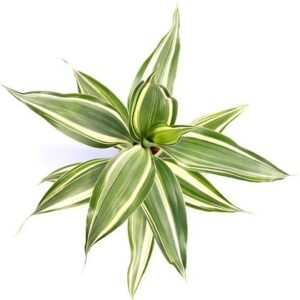 Dracaena sanderiana-Δράκαινα Σαντεριάνα (9cm)