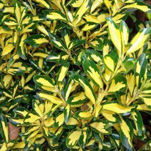 Euonymus japonicus-Ευώνυμο (9cm)