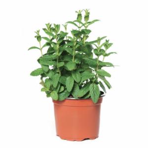 Mentha spicata-Δυόσμος (12cm)