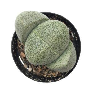 Pleiospilos Nelii (6,5cm)