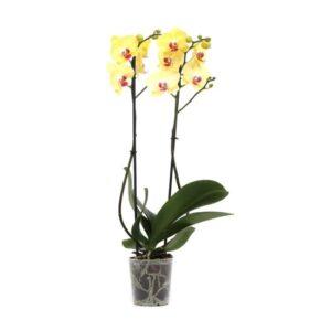 Orchid phalaenopsis-Ορχιδέα 55-60cm (χρώμα Κίτρινο)