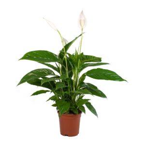 Spathiphyllum-Σπαθίφυλλο (13cm)