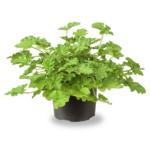 Pelargonium graveolens-Αρμπαρόριζα (12cm)