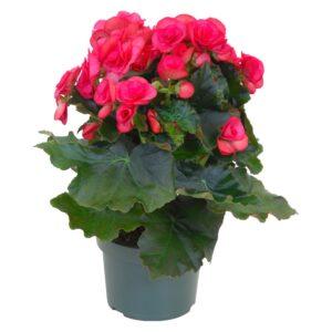 Begonia-Βιγόνια (13cm)