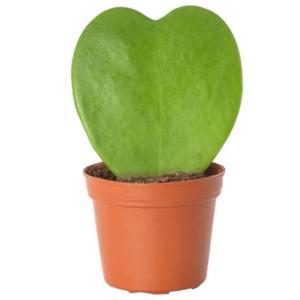 Hoya kerrii-Χόγια (6cm)