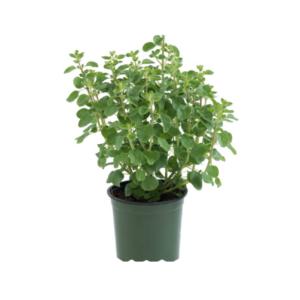 Origanum majorana-Ματζουράνα (12cm)