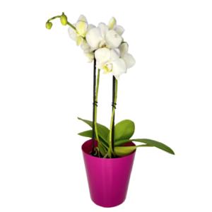 Orchid mini phalaenopsis-Ορχιδέα μίνι 35cm (χρώμα Λευκό)