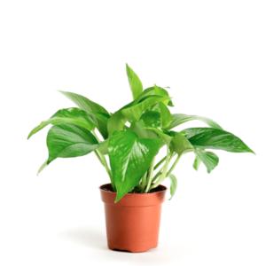 Epipremnum aureum var. Jade-Πόθος (9cm)