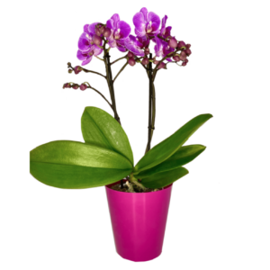 Orchid mini phalaenopsis-Ορχιδέα μίνι 35cm (χρώμα Μωβ)