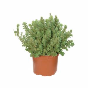 Origanum vulgare-Ρίγανη (12cm)