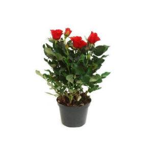 Τριαντάφυλλο mini (10.5cm)
