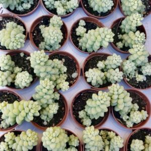 Sedum morganianum burritum (5.5cm)