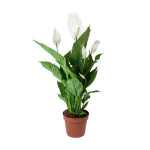 Spathiphyllum-Σπαθίφυλλο (9cm)