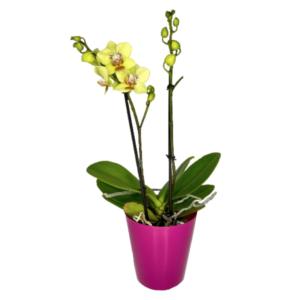 Orchid mini phalaenopsis-Ορχιδέα μίνι 35cm (χρώμα Κίτρινο)
