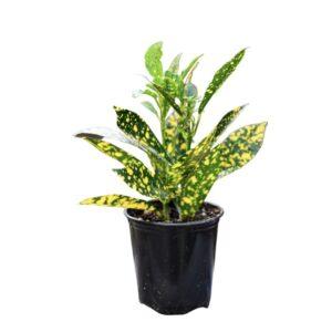 Codiaeum variegatum(Gold dust)-Κρότωνας (9cm)