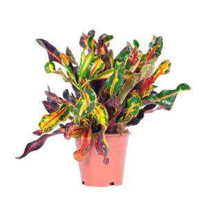 Codiaeum variegatum-Κρότωνας (9cm)