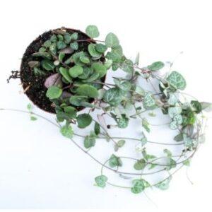 Ceropegia linearis subs. woodii variegata(8cm)
