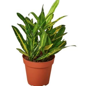 Codiaeum variegatum(Joseph's Coat)-Κρότωνας (9cm)
