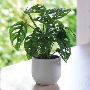 Monstera adansonii-Monkey leaf-Μονστέρα (12cm)