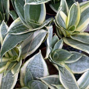 Sansevieria spp.-Σανσιβέρια (7cm)