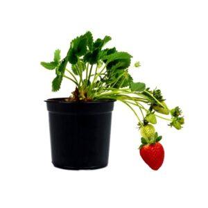 Fragaria x ananassa 'Albion' – Φράουλα (10cm)