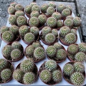Notocactus schlosseri (5.5cm)