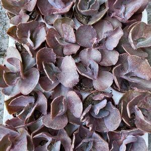 Echeveria shaviana (5.5cm)