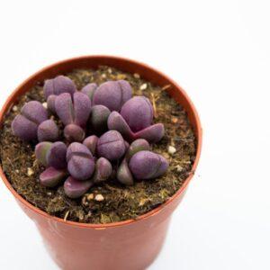Pleiospilos nelii nuova (8.5cm)
