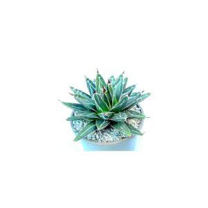 Agave victoriae reginae – Αγαύη βασίλισσας Βικτώριας (11cm)