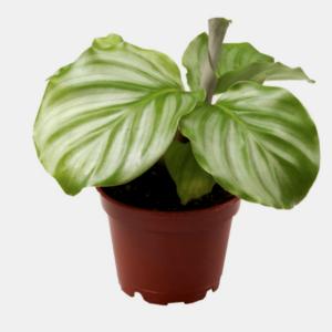 Calathea orbifolia-Καλαθέα (6cm)