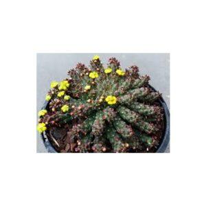 Euphorbia inermis (10,5 cm)