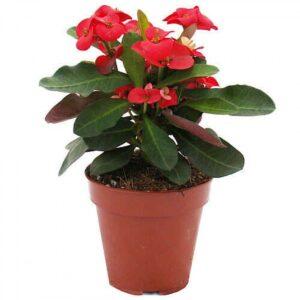 Euphorbia milii (12 cm) – Κόκκινο
