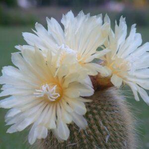 Notocactus leninghausii inermis (6.5cm)