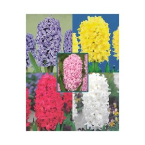 Ζουμπούλια διπλά σε 5 χρώματα
